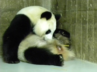 Panda-Hua-Zui