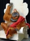 44211-Orangutan-King-Finish-01